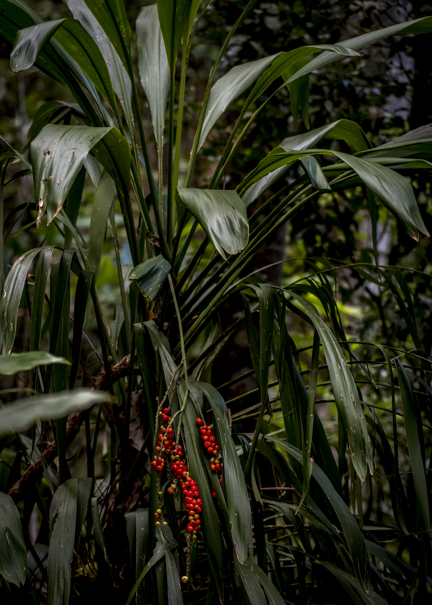 Cordyline, temperate rainforest, Gondwana, Lamington National Park,