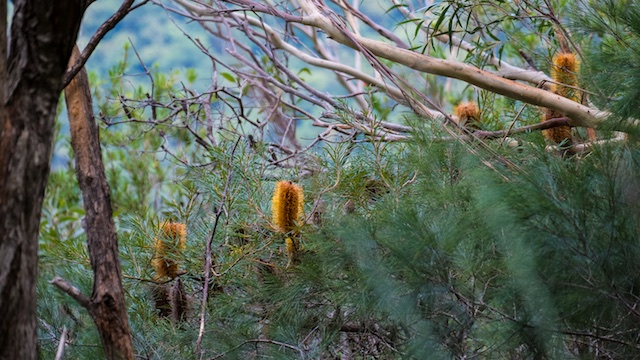 Eucalyptus-Banksia-Lamington-National-Park-Binna-Burra-Gold-Coast-bushwalking-hiking