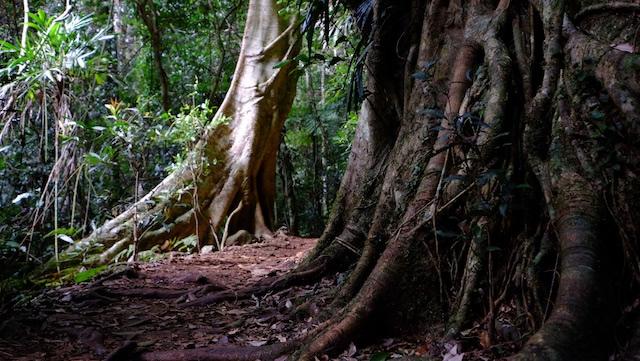 Butress-roots-Booyong-Lamington-National-Park-Binna-Burra-Gold-Coast-bushwalking-hiking