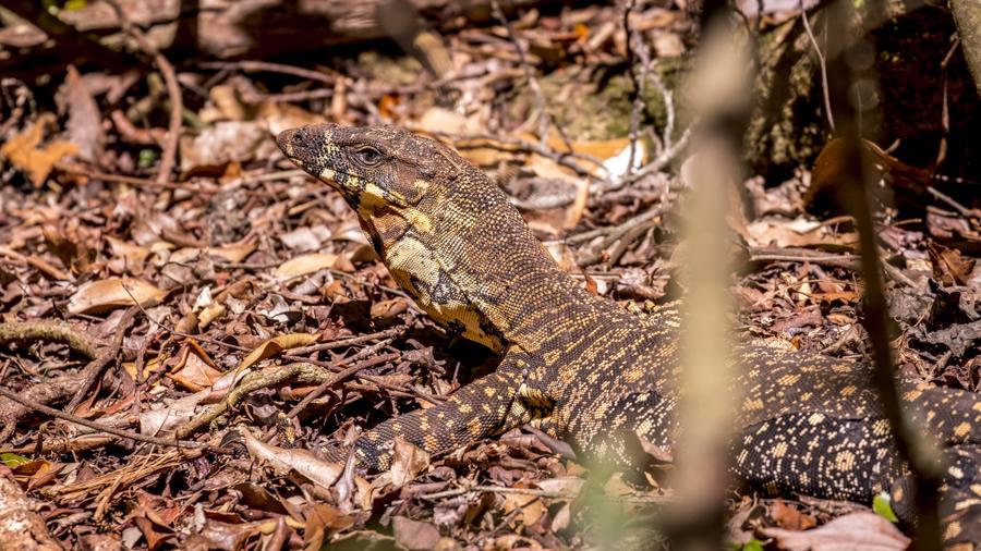 Goanna, Lace Monitor, Lizard, Binna Burra, Gondwana, Gold Coast