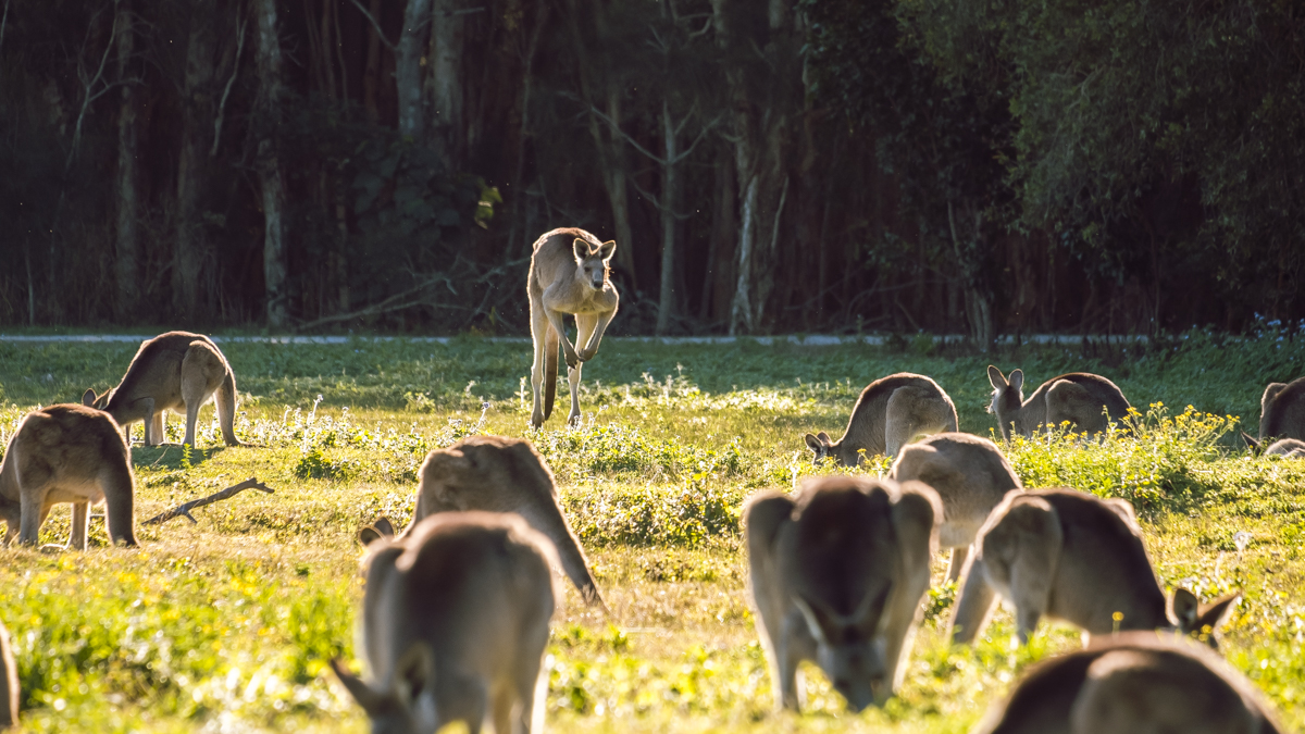 Kangaroos, Coombabah Wetlands, Gold Coast