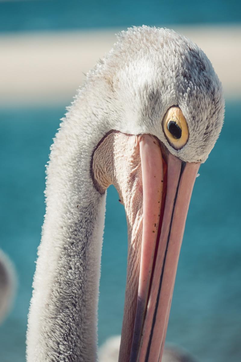 Pelican, Pelican feeding, Charis Seafoods, Labrador, Gold Coast,