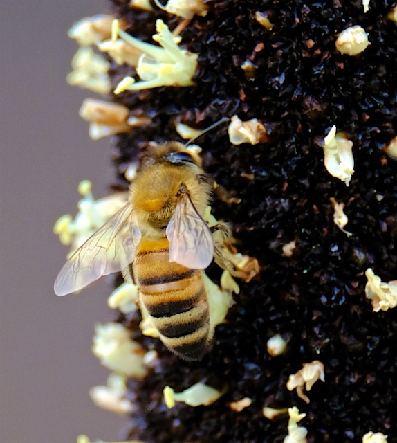 Honey-Bee-Lamington-National-Park-Binna-Burra-Gold-Coast-bushwalking-hiking