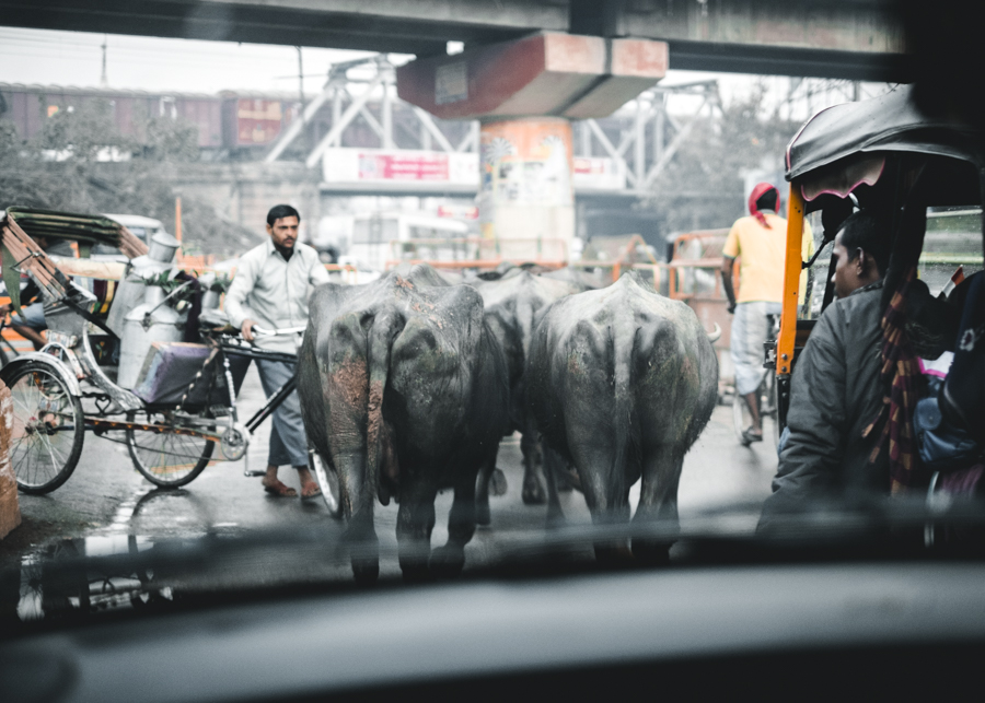 Water-buffalo-on-the-road-Varanasi-India