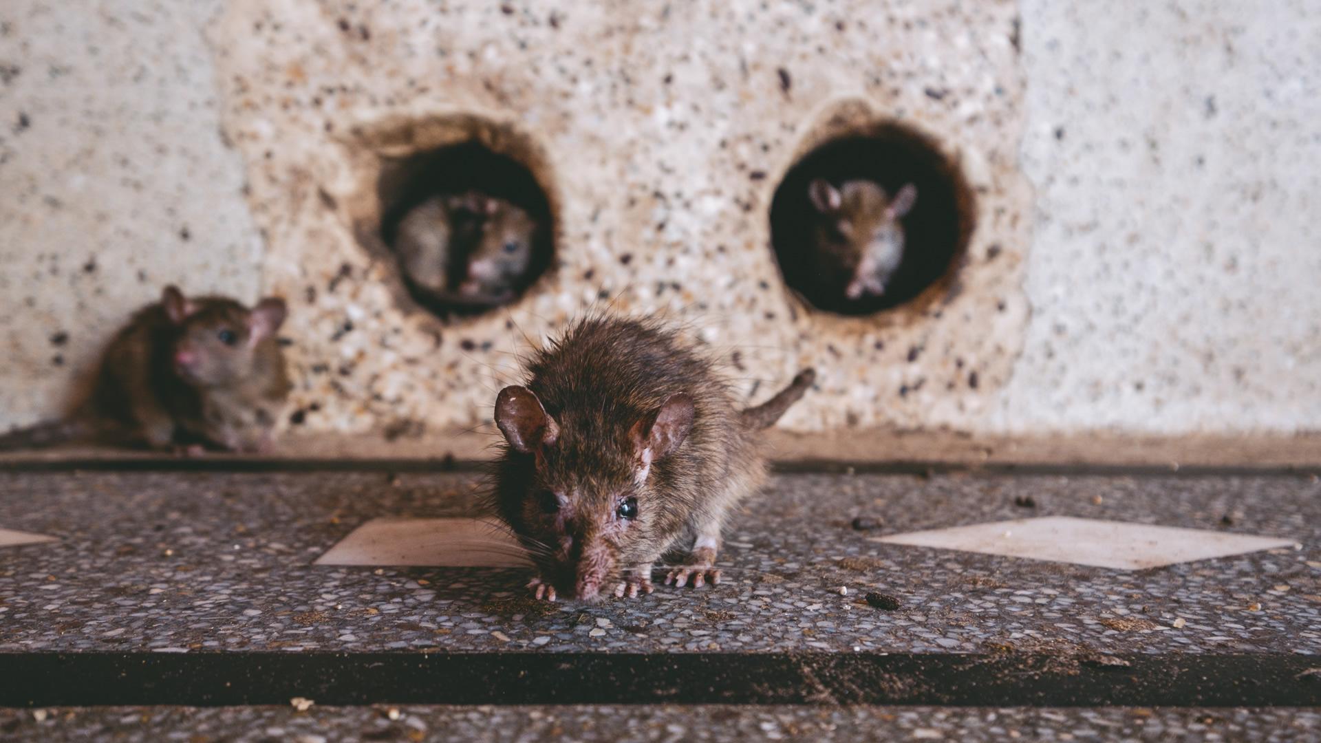 Black Rat, Karni Mata, Rat Temple, Rajasthan, India, Nathan Brayshaw travel photographer