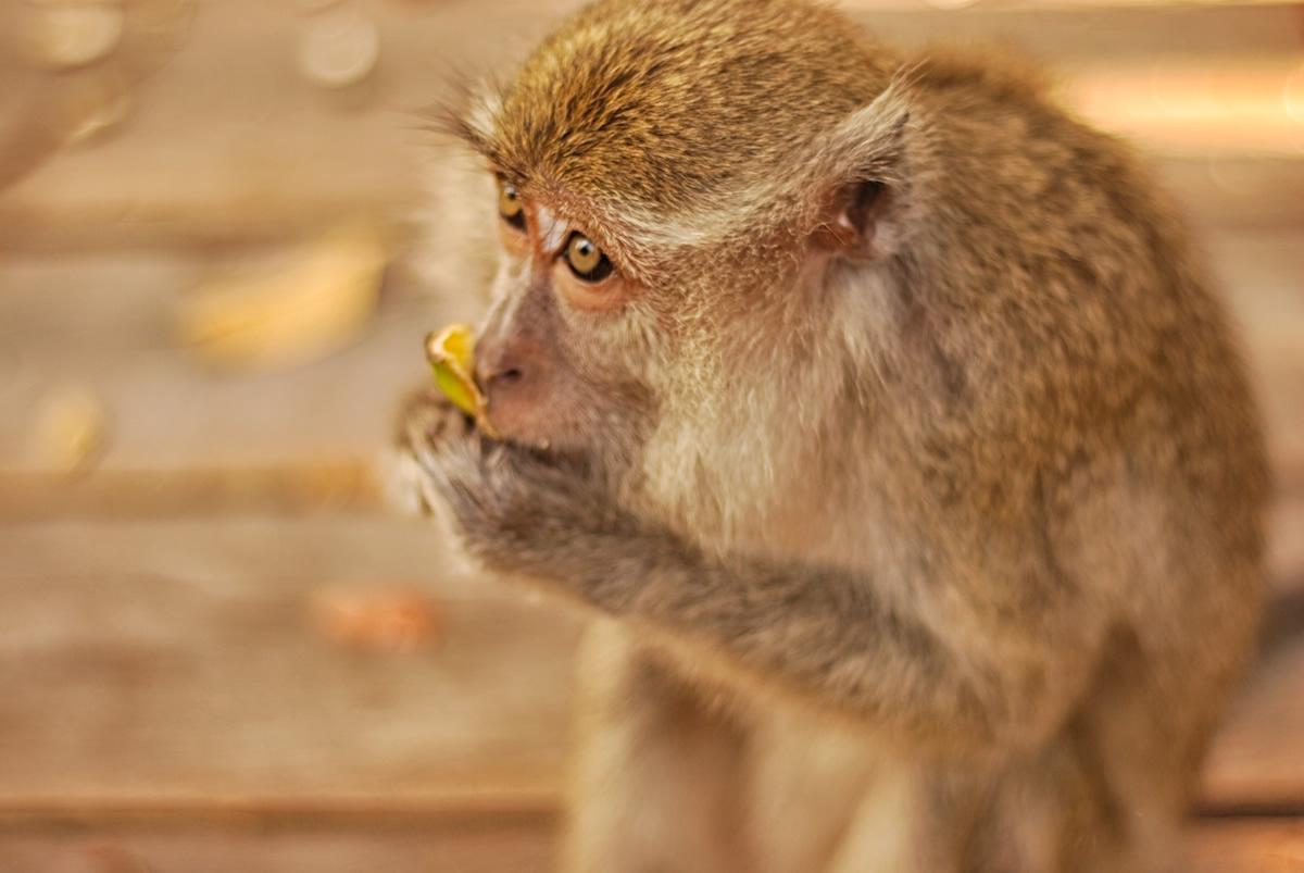 macaque, long-tailed macaque, borneo, orangutan, kalimantan