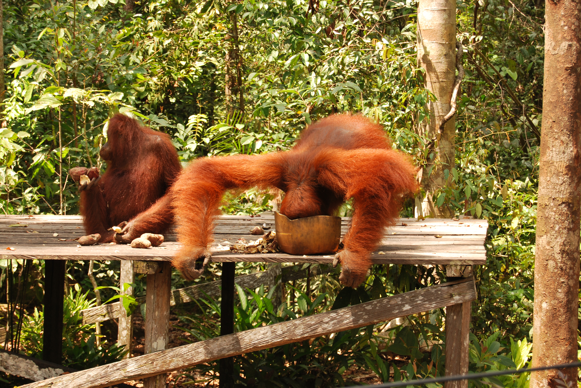 orangutan, borneo, camp leakey, travel photography, travel blog,