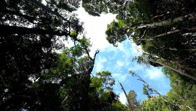 Strangler-fig-Lamington-National-Park-Binna-Burra-Gold-Coast-bushwalking-hiking