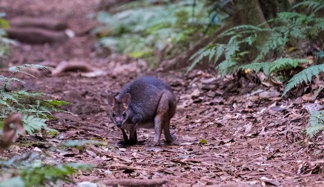 Red-Legged-Pademelon-Lamington-National-Park-Binna-Burra-Gold-Coast-bushwalking-hiking